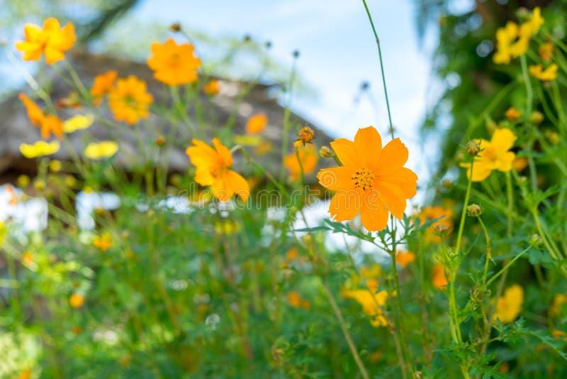 As flores alaranjadas e amarelas bonitas do cosmos estão florescendo no pleno campo foto de stock