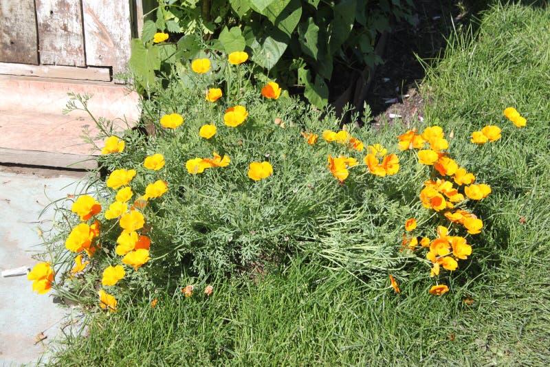 As flores amarelas bonitas com hastes verdes e a grama em uma dacha jardinam fotografia de stock royalty free