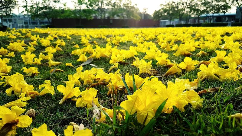 As flores amarelas caem a terra imagens de stock royalty free