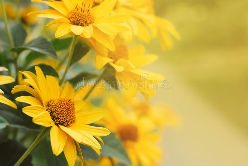 As flores amarelas do Echinacea borraram o fundo do bokeh com um espaço vazio para o texto foto de stock