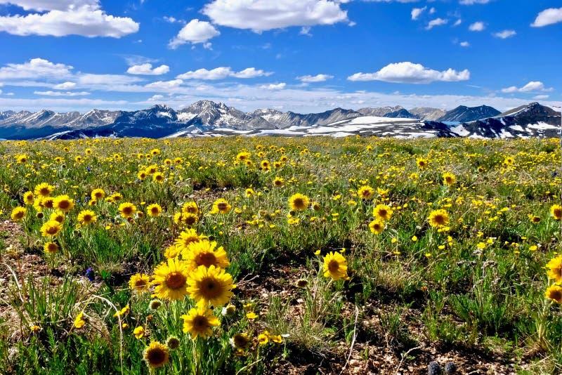 As flores amarelas em prados alpinos e as montanhas nevado na independência passam imagem de stock royalty free