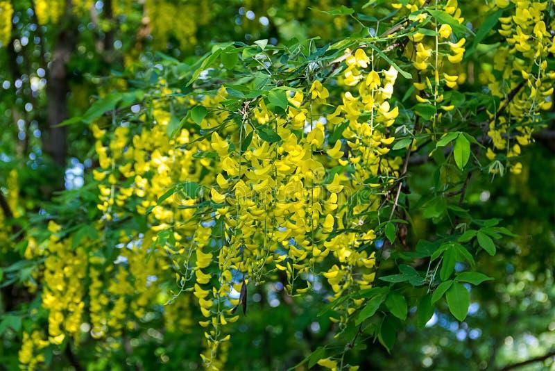 As flores amarelas florescem em um close-up alto da árvore fotos de stock royalty free