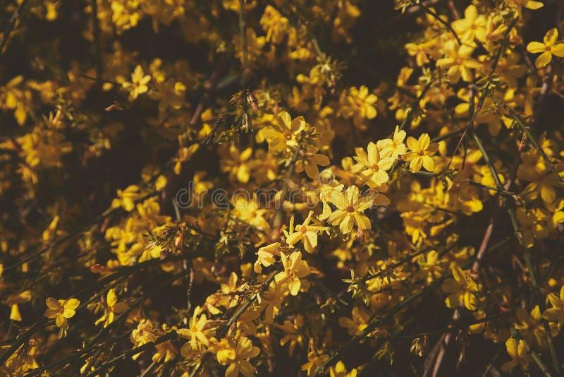 As flores amarelas florescem no início da mola wallpaper foto de stock
