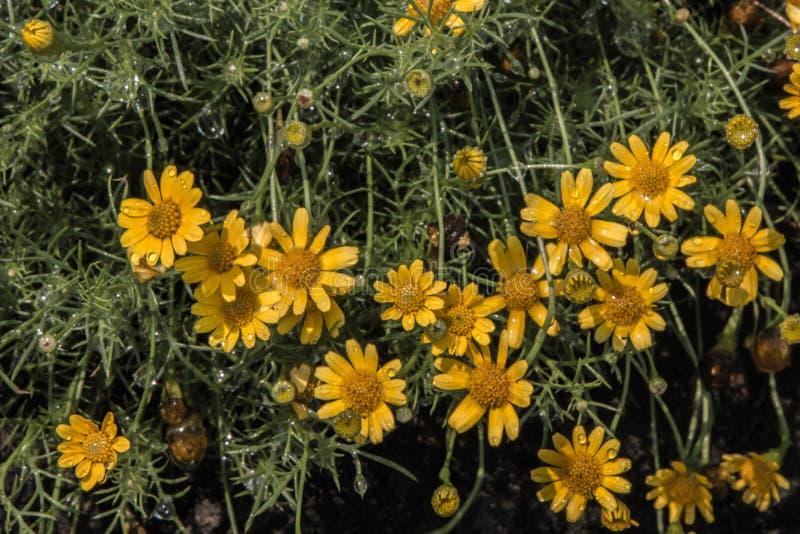As flores amarelas frescas fotografia de stock