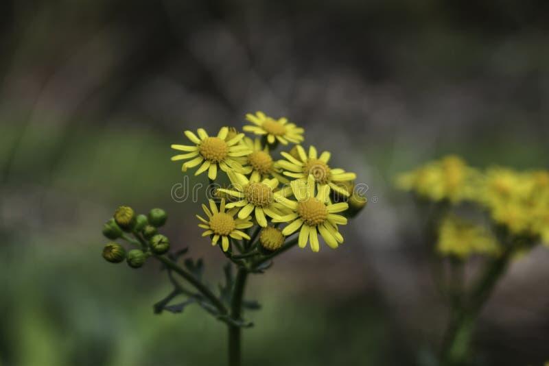 As flores amarelas zumbiram dentro imagem de stock