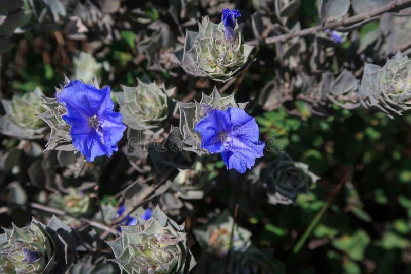 As flores azuis da montanha em Cachoeira a Dinamarca Fumaca, cachoeira do fumo, vale fazem Capao, parque nacional de Chapada Diam fotos de stock
