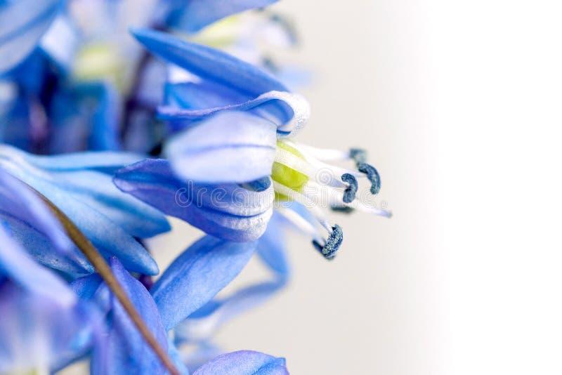 As flores azuis da primeira mola em um fundo claro imagem de stock royalty free