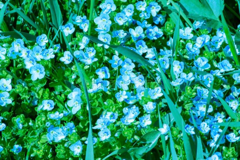As flores azuis pequenas da ver?nica delgada dos filiformis do Veronica floresceram no jardim, fundo delicado da flor fotos de stock