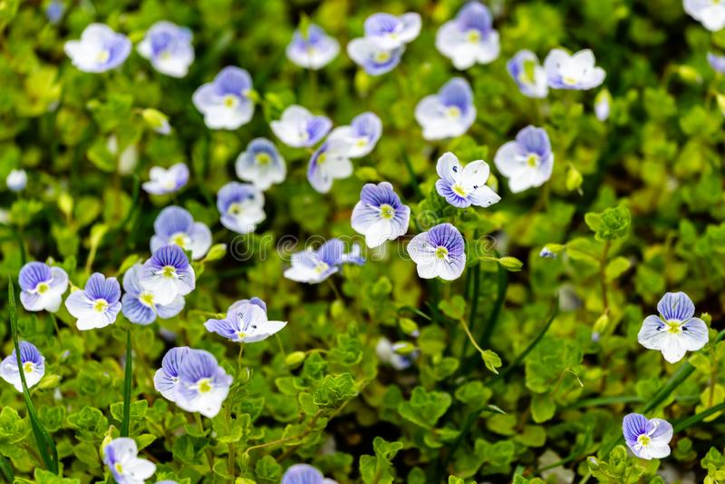 As flores azuis pequenas da ver?nica delgada dos filiformis do Veronica floresceram no jardim imagens de stock