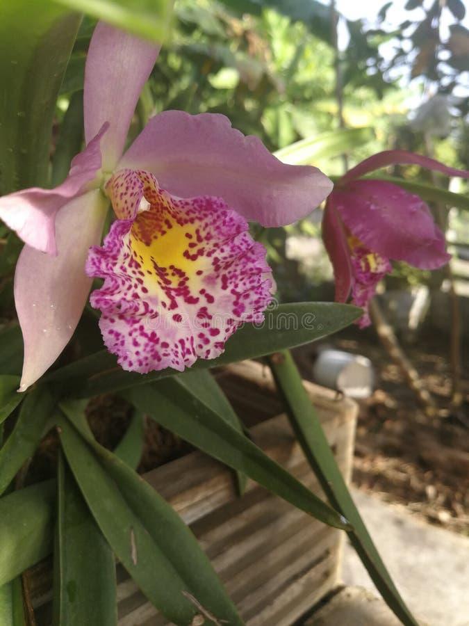 As flores belamente coloridas da orquídea florescem em escuro - as folhas verdes que penduram no pátio de entrada coberto fotografia de stock royalty free