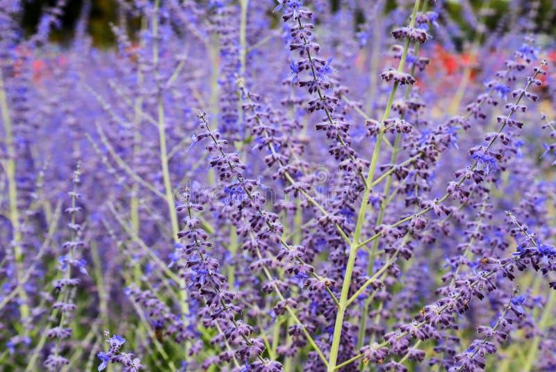 As flores bonitas da alfazema florescem no jardim no verão, fundo da alfazema, perfumaria Feche acima dos arbustos de flores da a foto de stock royalty free