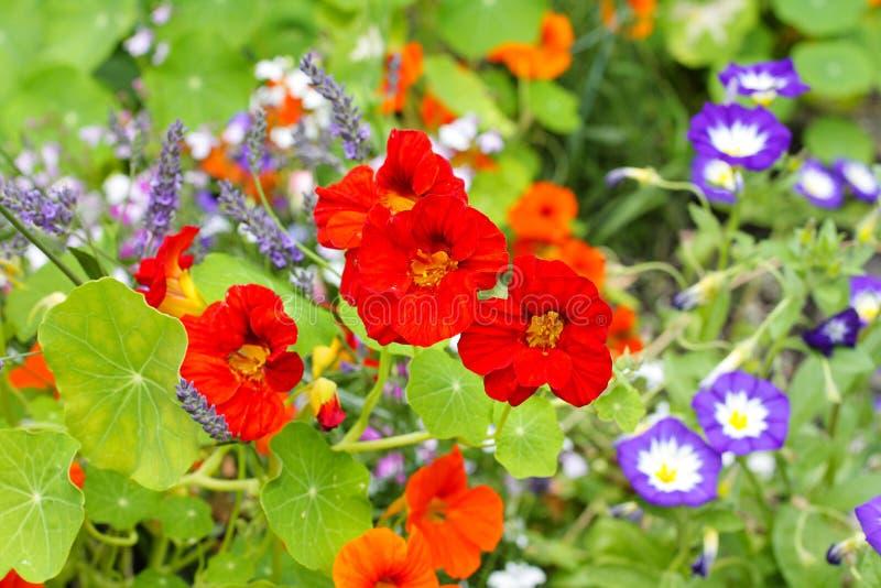 As flores bonitas da chagas fecham-se acima imagem de stock
