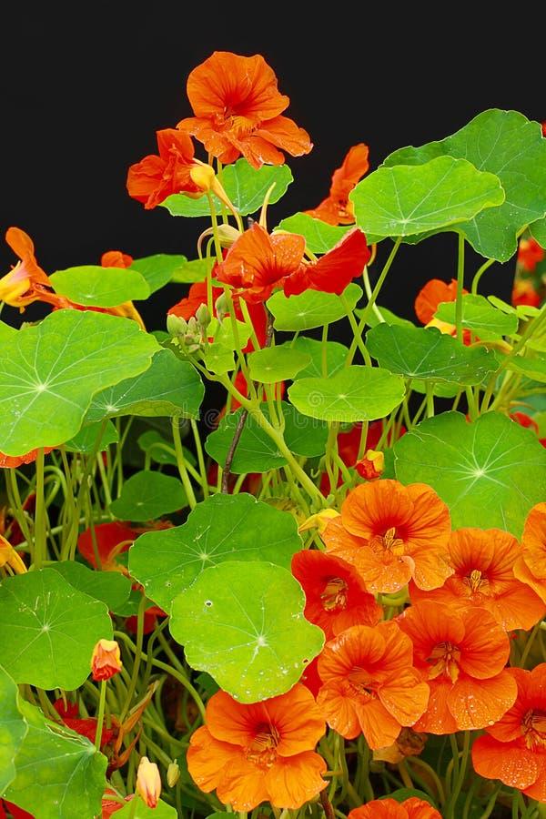 As flores bonitas da chagas fecham-se acima fotos de stock royalty free
