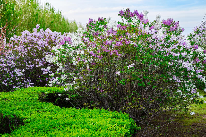 As flores bonitas do oblata do syringa fotos de stock