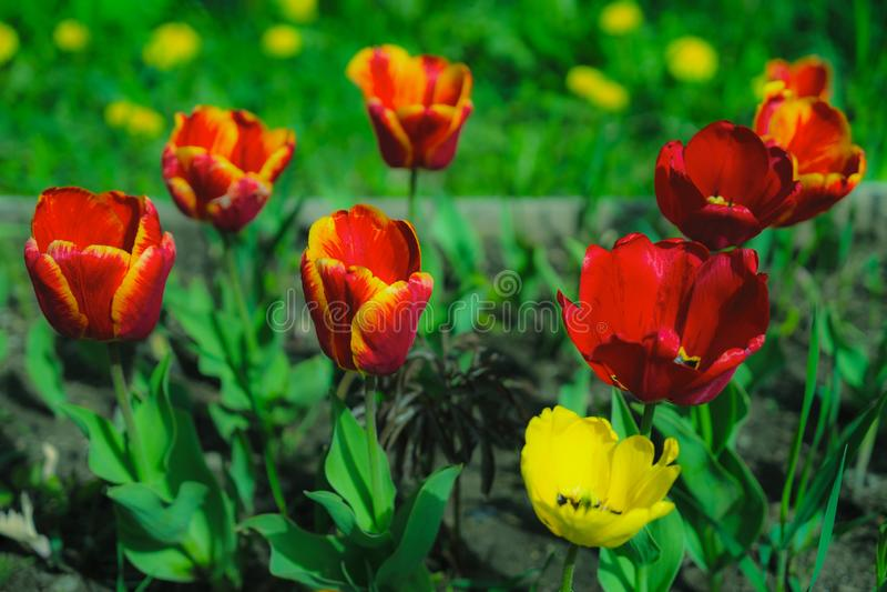 As flores bonitas s?o amarelas e vermelhas na noite na obscuridade fotos de stock