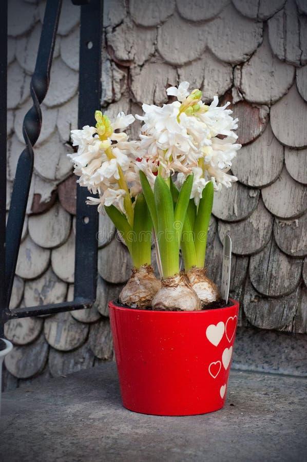 As flores brancas bonitas do jacinto florescem em um potenciômetro vermelho próximo à casa fotos de stock