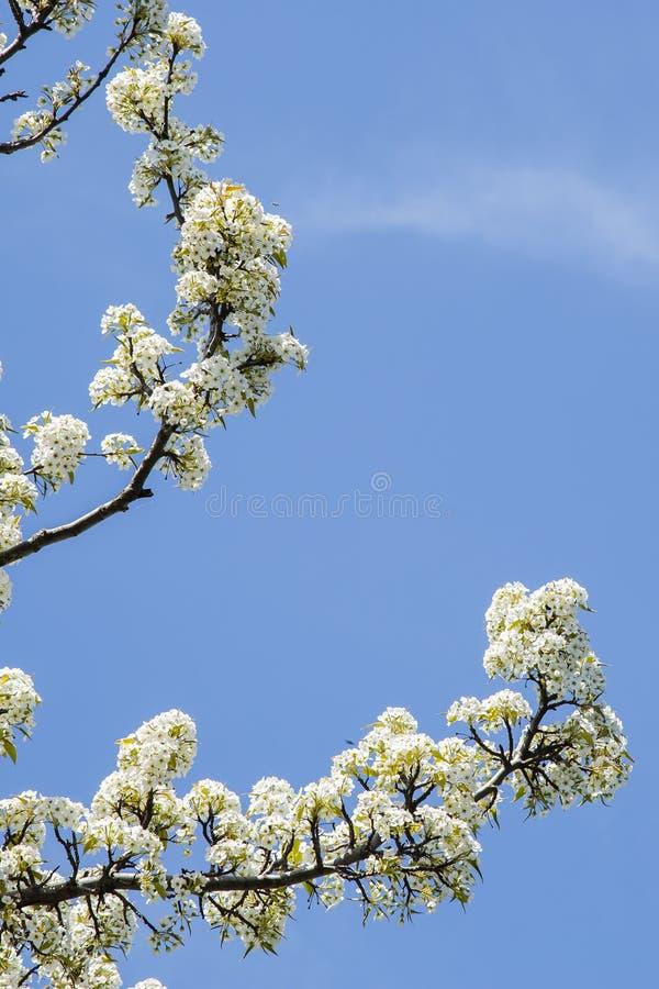 As flores brancas, Céu-mola azul estão no ar! fotografia de stock