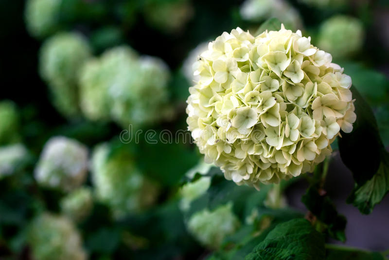 As flores brancas da bola da neve do viburnum na mola jardinam Guelder boule cor-de-rosa de neige fotografia de stock royalty free