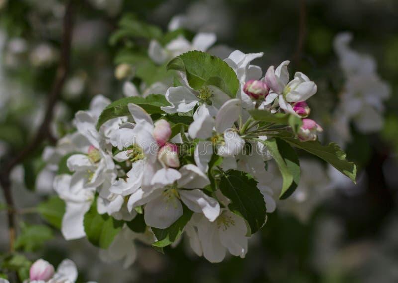 As flores brancas da cereja fecham-se acima fotografia de stock royalty free