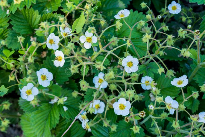As flores brancas da morango florescem e esverdeiam as folhas no jardim fotos de stock royalty free