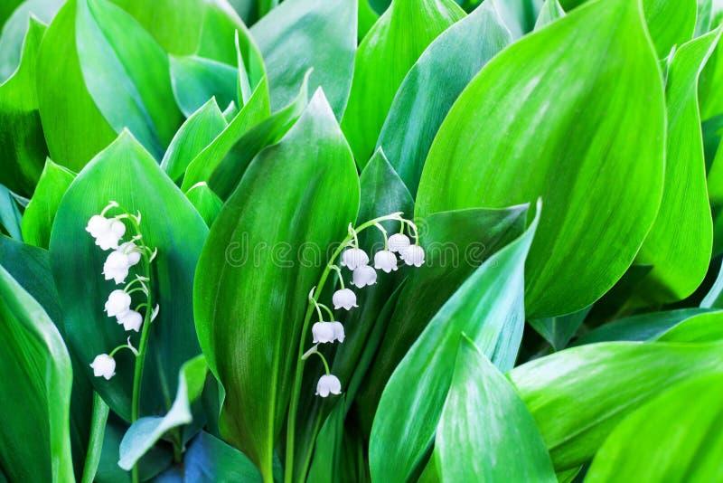 As flores brancas do lírio do vale as folhas verdes no close up borrado do fundo, podem macro da flor do lírio, flor dos majalis  fotos de stock