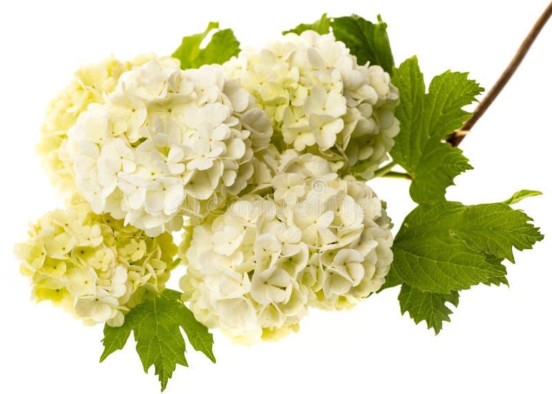 As flores brancas do viburnum fecham-se acima foto de stock royalty free
