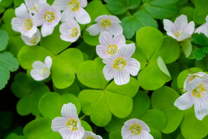 As flores brancas dos oxalis em um fundo das folhas fecham-se acima fotografia de stock royalty free