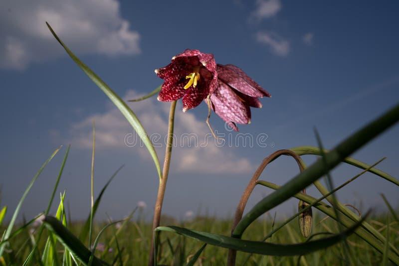 As flores brancas e roxas do Fritillary delicado da Serpente-cabe?a podem ser vistas na mola fotografia de stock