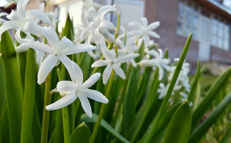 As flores brancas esverdeiam minha casa imagens de stock