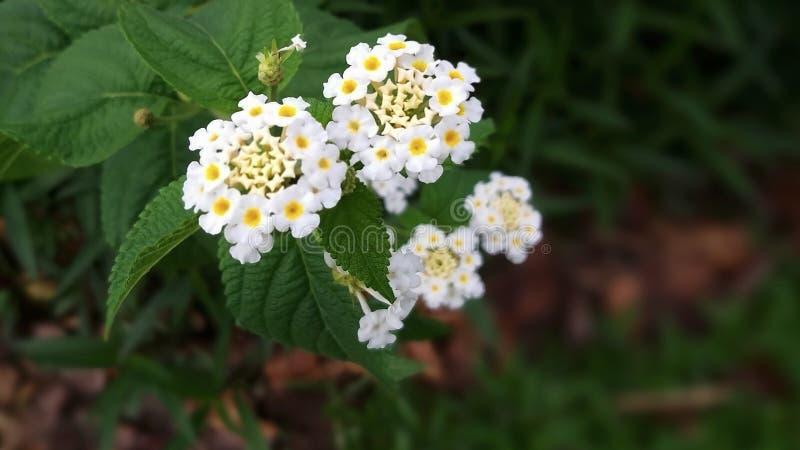 As flores brancas florescem em feixes da florescência foto de stock