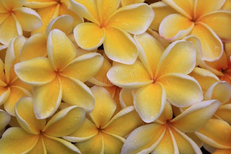 As flores caídas do plumeria com chuva deixam cair o fundo imagem de stock royalty free
