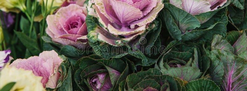 As flores chamaram a couve decorativa imagens de stock