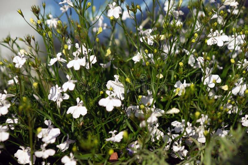 As flores claras de florescência bonitas são confetes de Nemesia, dentados aloha imagens de stock royalty free