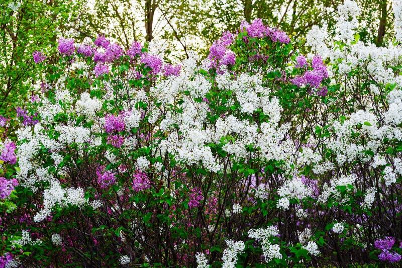As flores coloridas do syringa imagem de stock