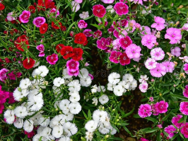 As flores coloridas que florescem no carvão animal indiano Bagh jardinam em Hamilton Gardens fotografia de stock