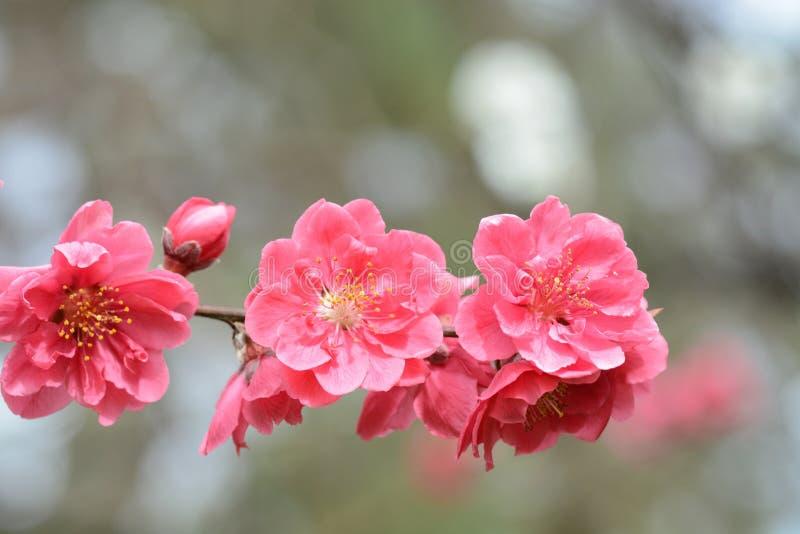 As flores consideravelmente cor-de-rosa da ameixa estalaram recentemente para a mola em Japão imagens de stock