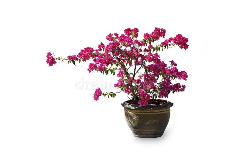 As flores cor-de-rosa da buganvília estão em um potenciômetro da planta feito da argila em um fundo branco com trajeto de grampea imagens de stock royalty free