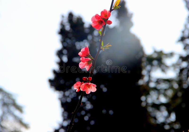 As flores cor-de-rosa da mola no ramo na cidade estacionam foto de stock royalty free
