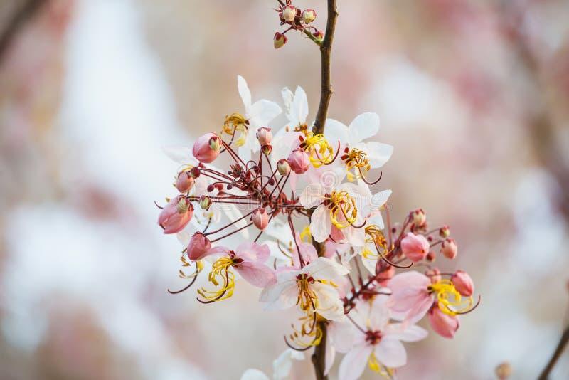 As flores cor-de-rosa das flores brancas que desejam a árvore, close-up cor-de-rosa da cássia, macro, vista, fundo do borrão flor imagem de stock royalty free