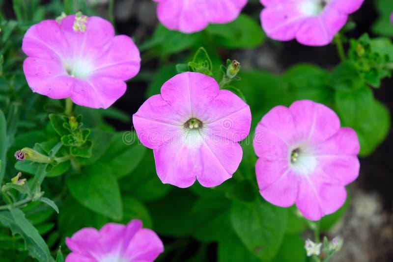 As flores cor-de-rosa do pet?nia fecham-se acima imagem de stock