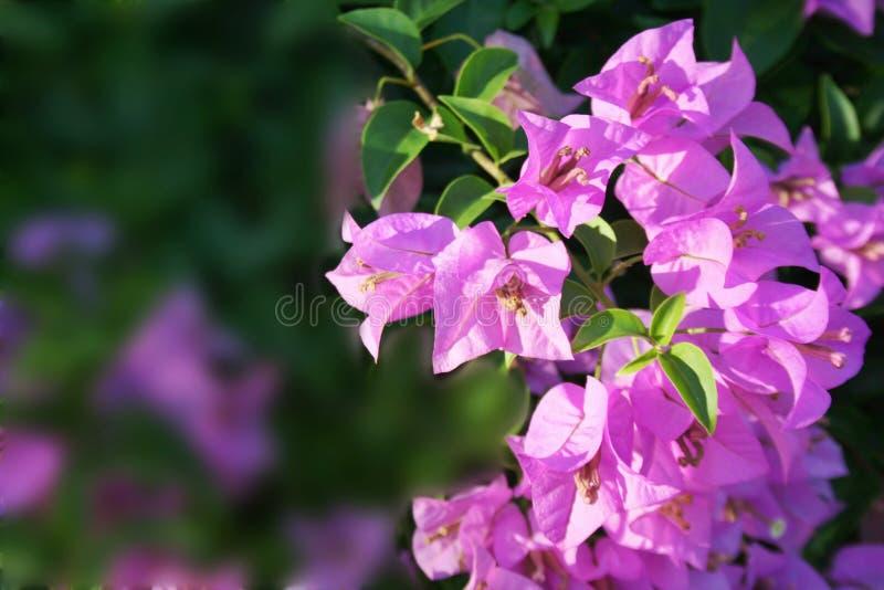 As flores cor-de-rosa florescem natureza da beleza fotos de stock royalty free