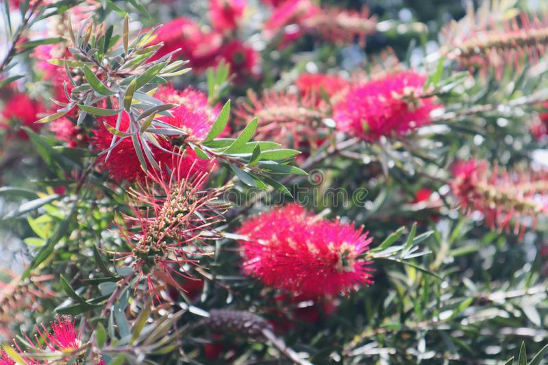 As flores cor-de-rosa vermelhas bonitas fecham-se fotografia de stock