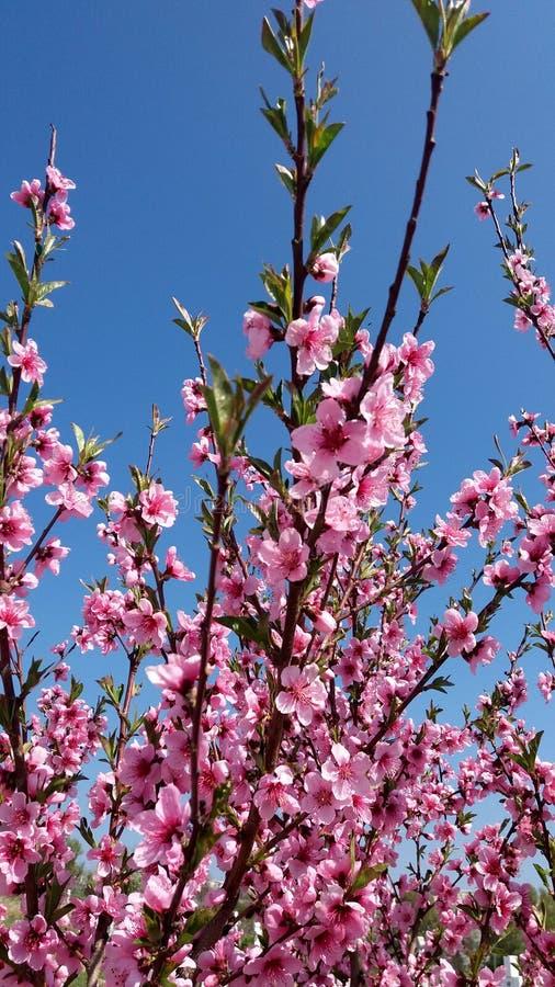 As flores da árvore de pêssego florescem no fundo do céu azul fotografia de stock