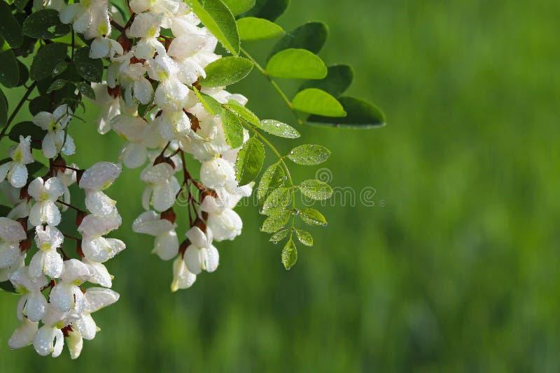 As flores da acácia branca nas gotas do orvalho da manhã são iluminadas pelos raios do sol Fundo verde borrado para colocar um in fotografia de stock royalty free