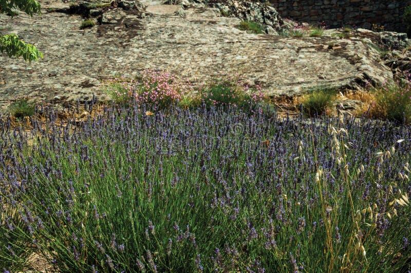 As flores da alfazema dispersaram em um arbusto de um jardim foto de stock royalty free
