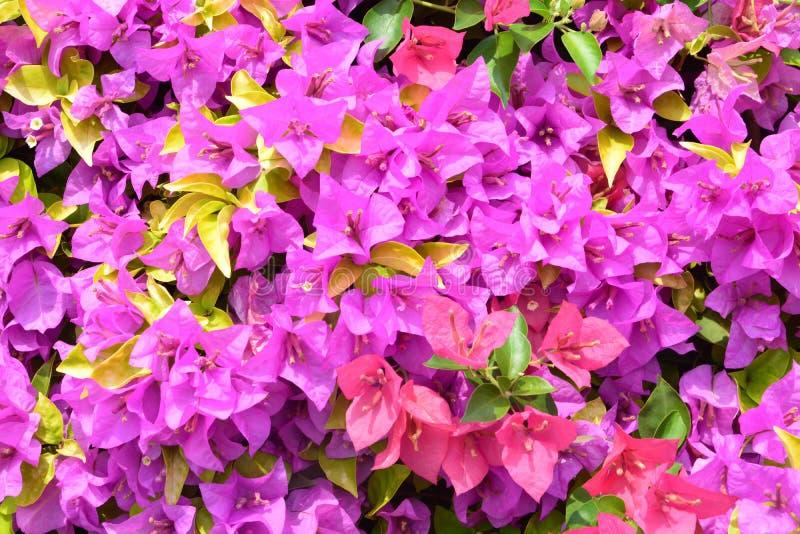 As flores da buganvília são um gênero de videiras decorativas espinhosas imagem de stock
