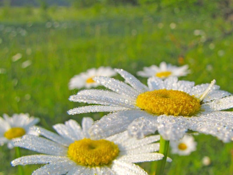 As flores da camomila da camomila nas gotas da manhã orvalham Humor alegre da manhã imagens de stock