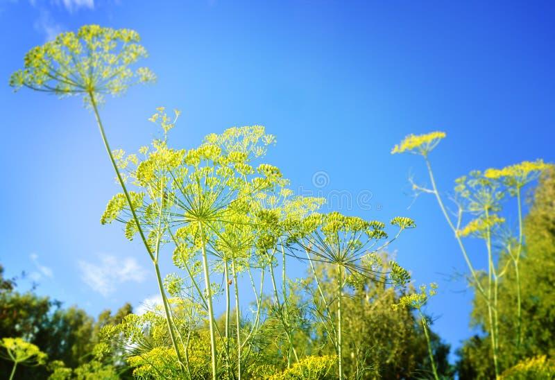 As flores da erva daninha de aneto ajustaram-se contra um céu azul com as nuvens brancas inchado fotos de stock royalty free