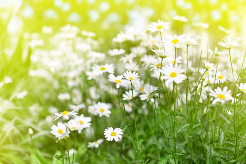 As flores da margarida branca na grama verde e no sol iluminaram o fim borrado do fundo acima, campo no dia de verão ensolarado,  imagem de stock