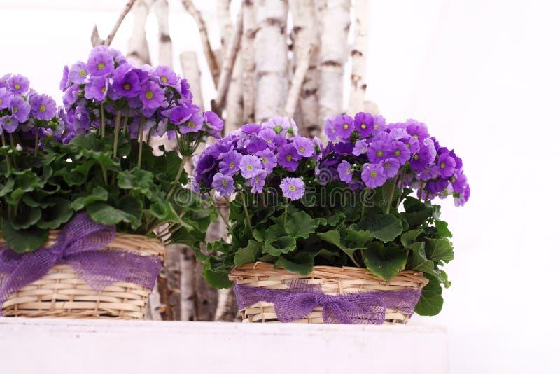 As flores da prímula na cesta de vime com fita curvam-se fotos de stock